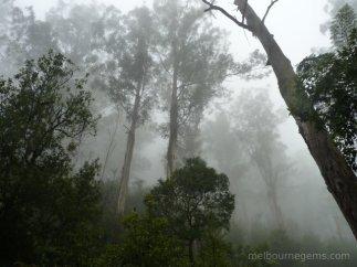 Yarra Ranges national park in the mist