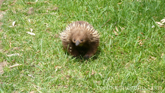 Wild Echidna wandering in the grass