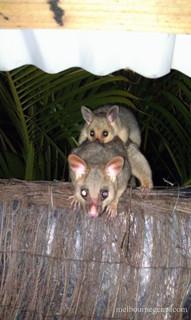 Wild Possum and Joey