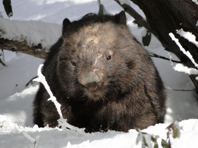 Wild Wombat in the snow