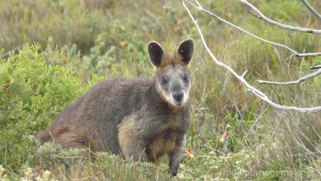 Wild Wallaby at Wilsons Prom