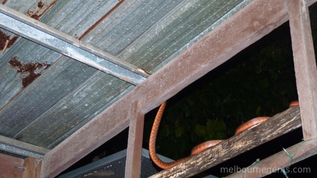 Brown Tree Snake on a restaurant's terrace, in Cape Tribulation