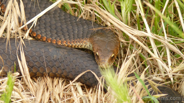 Australian Copper Head snake on Philip Island
