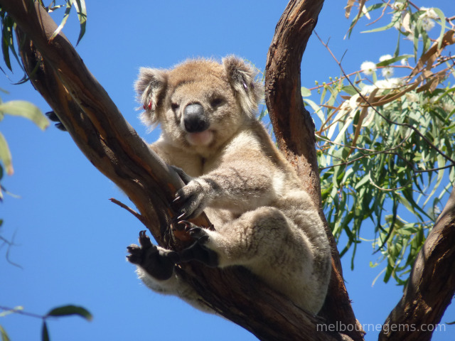 Wild Koala holding tight in the wind