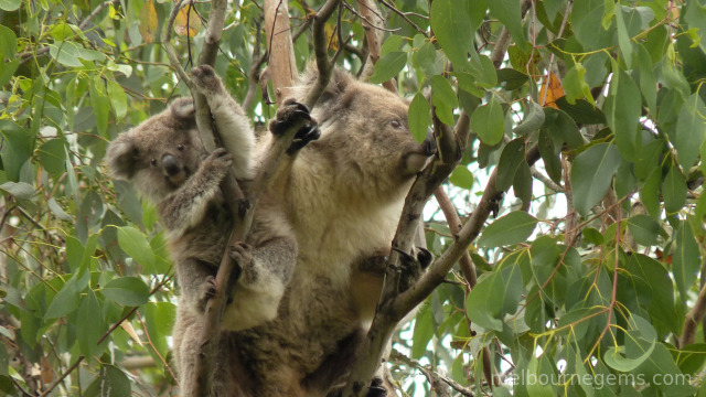Koala and its Joey