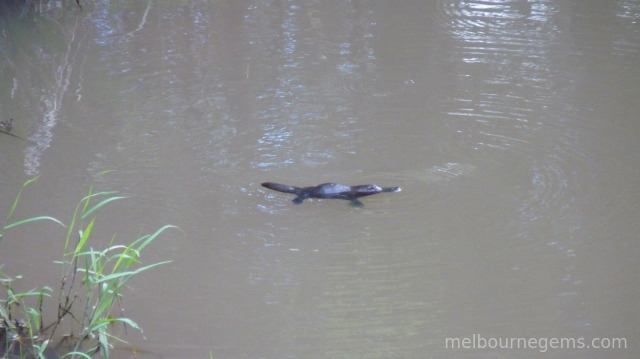 Wild Platypus at the Eungella National Park
