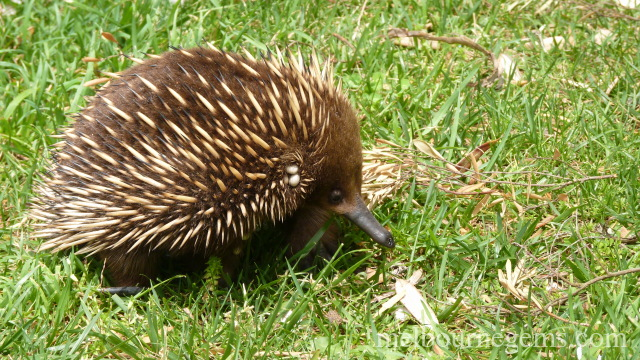 Wild echidna hopping in the grass
