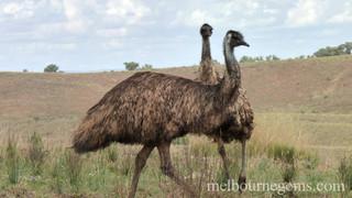 Wild Emus