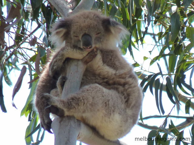Koala sleeping and hanging to a branch