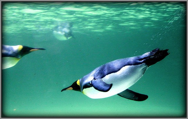 King Penguins swimming at Melbourne Aquarium