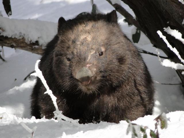 Wild Wombat in the snow
