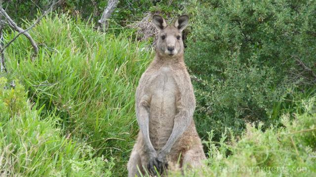 Wild Grey Kangaroo at Wilsons Prom