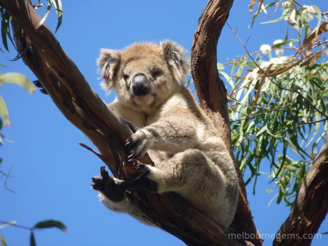 Wild Koala holding tight in the wind