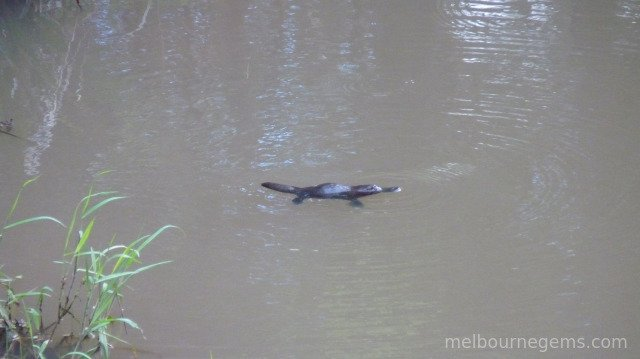 Wild Platypus at the Eungella National Park