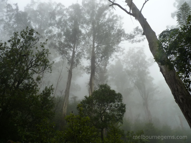 Yarra Ranges national park in the mist